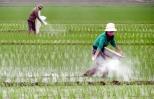 Bảo đảm năng suất, chất lượng lúa vụ đông xuân