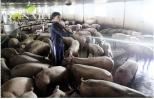 Gặt hái thành công nhờ nuôi lợn VietGap