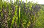 Giống lúa thảo dược - Hướng đi mới để nâng cao giá trị