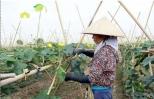 Thu 30 triệu đồng/sào dễ dàng nhờ trồng rau an toàn