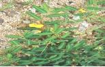 Trị mề đay, ung nhọt bằng cây rút nước