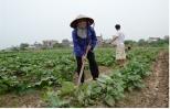 Bón phân NPK-S Lâm Thao cho cây khoai lang