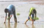 Nông dân Hưng Yên tập trung cao gieo cấy lúa xuân