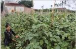 Quy trình trồng cà tím an toàn