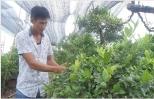 Tỷ phú chanh hữu cơ ở Hưng Yên