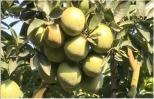 Một nông dân trồng giống cam mới cho hiệu quả cao ở Khoái Châu