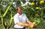 Nông dân Hưng Yên trồng cam VietGap