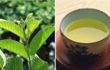 """Sự thật về """"thần dược"""" trà lá ổi chống ung thư, hỗ trợ chữa tiểu đường"""