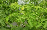 Phòng trừ bệnh xoăn vàng lá cà chua