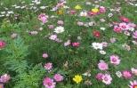 Trồng hoa phục vụ thăm quan, chụp ảnh: Tư duy mới của người nông dân  mới.