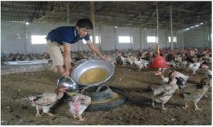 Hiệu quả từ mô hình chăn nuôi gà trên đệm lót sinh học ở Hưng Yên