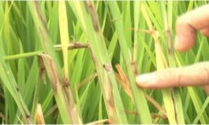 Nắng mưa thất thường, diện tích lúa ở Bắc Bộ bị sâu cuốn lá tàn phá