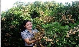 2 tấn nhãn Hưng Yên đầu tiên chuẩn bị xuất Mỹ