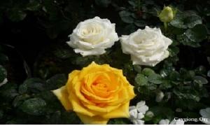 Ghép Cây Hoa Hồng