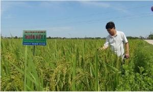 Giống lúa tốt cho nông dân