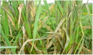 Mưa lớn quay trở lại Bắc Bộ, bệnh khô vằn trên lúa lây lan mạnh