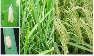 Phòng trừ sâu đục thân hại lúa