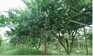 Xuất hiện nhiều tỷ phú nhờ trồng cây phật thủ