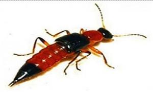 Cách phòng tránh bị viêm da sau tiếp xúc với kiến ba khoang