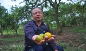 Bí quyết trị sâu, bệnh cứu vườn cam