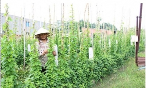 Khi nhà nông bán vé cho khách thăm vườn cây ăn trái