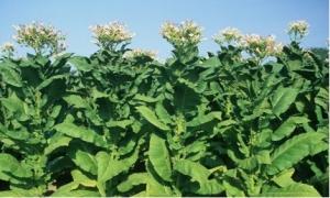 Kỹ thuật chế thuốc trừ sâu thảo mộc từ thân cây thuốc lá, thuốc lào