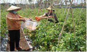 Bón NPK-S Lâm Thao cho cà chua, bí xanh
