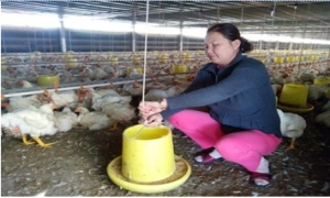 Nhờ gà, heo, chị Hải xứ Quảng lãi gần tỷ đồng mỗi năm