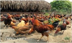 """Trang trại 6000 con gà sạch nuôi theo kiểu """"nhà giàu"""""""