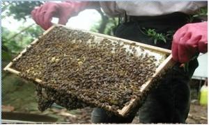 Lão nông 80 tuổi làm giàu từ nuôi ong mật