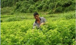 Nông dân trồng rau ngót cho thu nhập khá