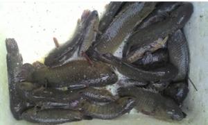 """Kinh nghiệm """"vàng"""" chọn cá rô đầu vuông sinh sản"""