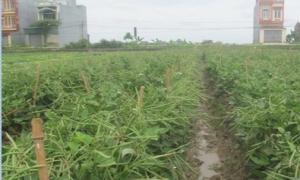 Trồng đậu đỗ cho thu nhập cao gấp 2 lần trồng lúa