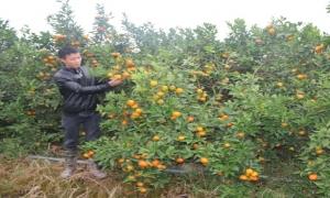 Cử nhân cơ khí vể quê trồng cam thu lãi trên 1 tỷ đồng