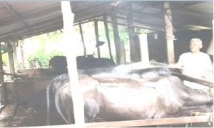 Bỏ túi 300 triệu đồng/năm nhờ nuôi bò và trồng thanh long