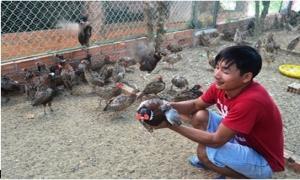 Nuôi chim trĩ đỏ ít tốn thức ăn, thu nhập khá