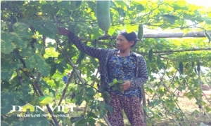 Bám đất làng làm rau sạch, thu lợi gấp 5 lần trồng lúa