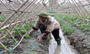 Nông dân Hưng Yên chăm sóc cây vụ đông