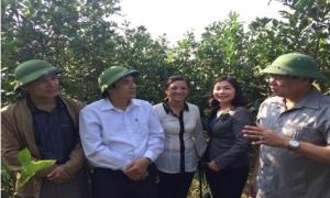 Hiệu quả từ mô hình trồng cây ăn quả tại huyện Kim Động
