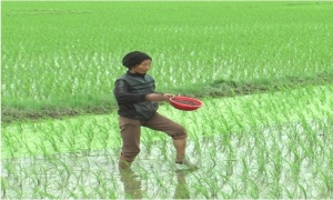 Bón thúc NPK Ninh Bình cho lúa chiêm xuân...