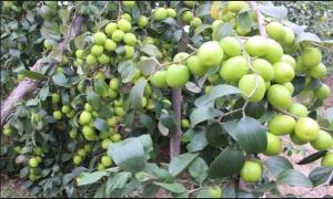 Kỹ thuật trồng thâm canh cho cây táo...