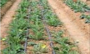 Tưới nhỏ giọt - Giải pháp công nghệ cao trong nông nghiệp