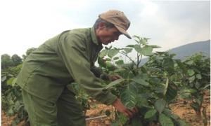 """Dễ dàng """"đút túi"""" trăm triệu đồng từ trồng đinh lăng"""