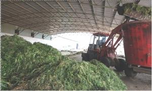 Thức ăn ủ chua cho gia súc góp phần nâng cao năng suất và giảm phát thải khí nhà kính