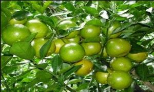 Kỹ thuật trồng chanh tứ quý VietGap
