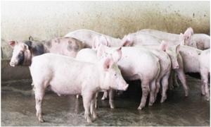 Ngành Ngân hàng tháo gỡ khó khăn cho người chăn nuôi lợn