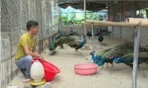 Mô hình nuôi chim công cảnh ở Phù Cừ cho hiệu quả kinh tế cao
