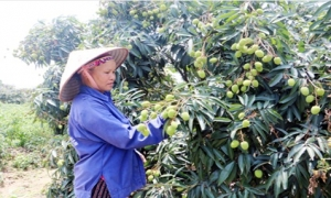Tỉnh Hưng Yên ước thu 150 tỷ đồng từ trồng vải