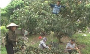 Vải lai u Phù Cừ thu hoạch sớm được mùa được giá