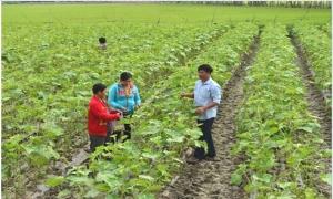 Trồng đậu bắp phủ màng-nông dân lãi 20 triệu đồng/vụ